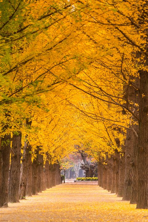 the yellow foliages of ginkgo trees in a row at namiseom, south korea