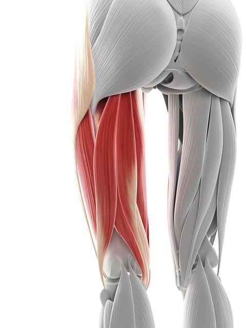 Thigh muscles, artwork