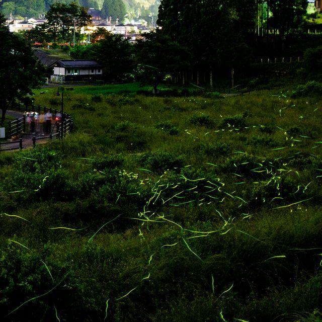 japan animal fireflies