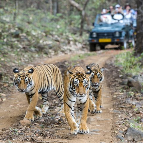Safari holidays India Three bengal tigers in front of tourist car