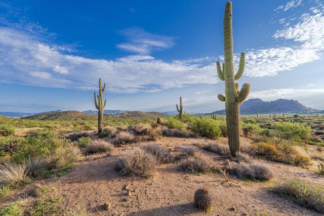 three saguaro cacti in the arizona desert