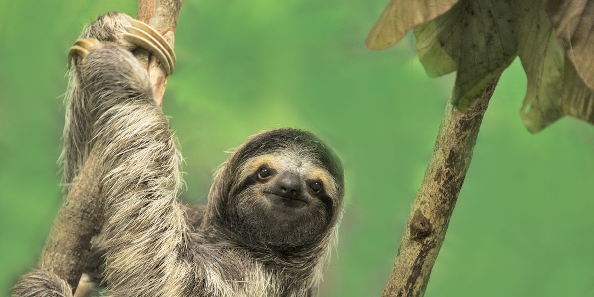 14 Fun Facts About Sloths That'll Make You Love Them Even More
