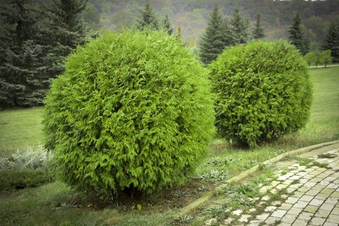 20 Essential Evergreen Shrubs Best Types Of Evergreen Bushes