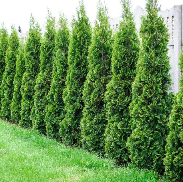 10 Best Privacy Trees For Your Backyard Tall Trees For Privacy