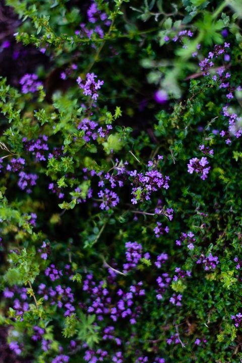 thyme flowers in bloom