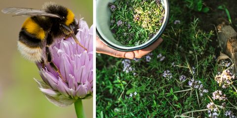 Bumble bee and hoverfly on chive flower / Womans hands holding bowl of freshly picked thyme