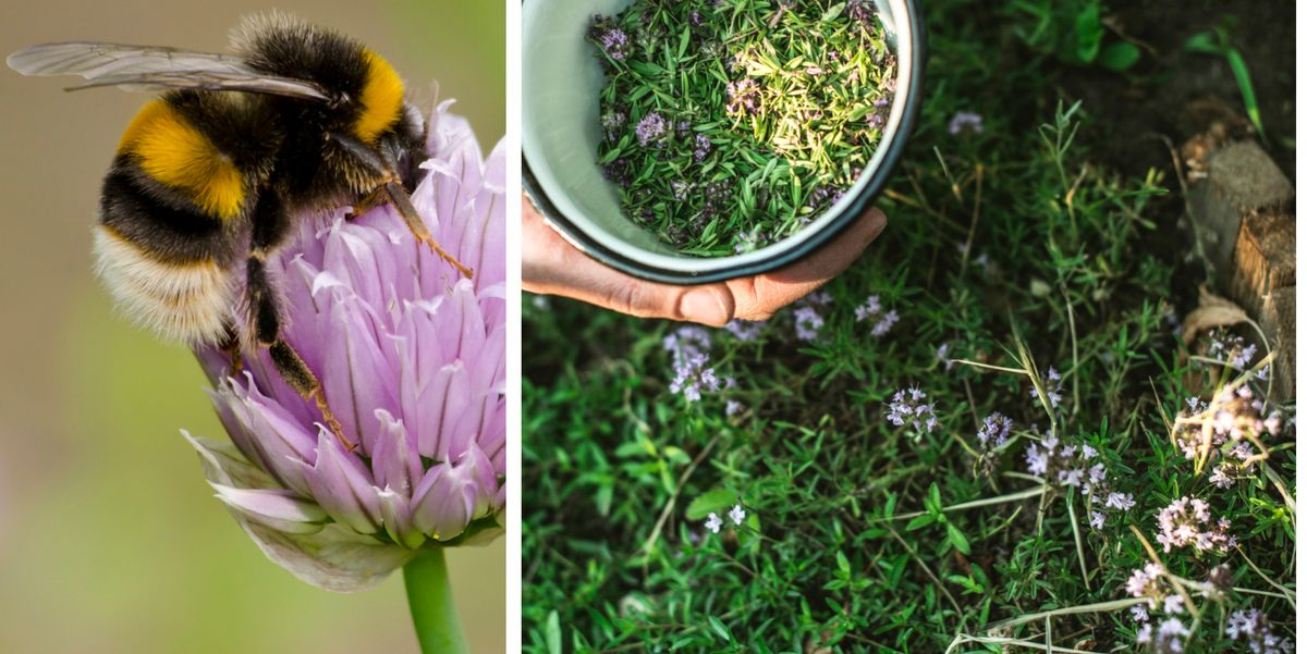 Top 10 Herbs That Attract Bees Bee Friendly Herbs To Grow