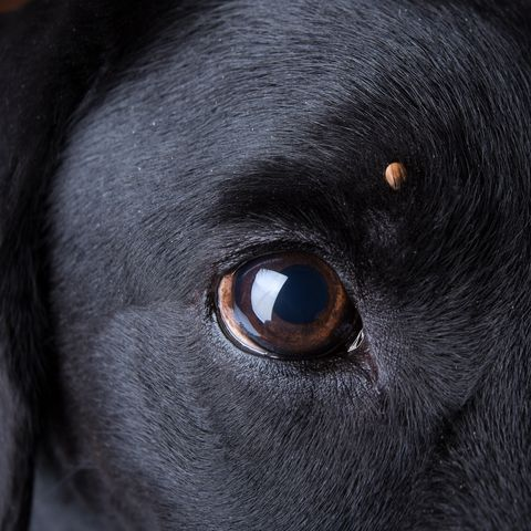 How to Get Rid of a Tick on Dogs - What to Do for Tick Bites on Dogs