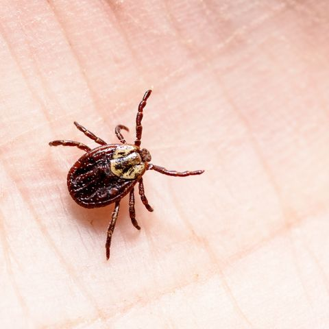 tick removal how to remove a tick safely
