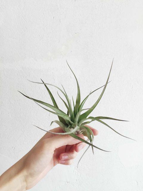 Plant, Flower, Botany, Grass, Leaf, Terrestrial plant, Grass family, Houseplant, Hand, Flowerpot,