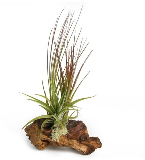 Tillandsia Décor - 3 Air Plants on Decorative Drift Wood - Amazon