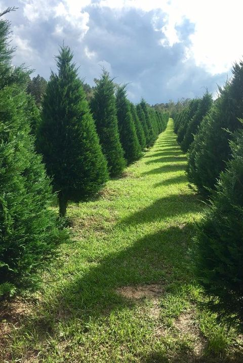 50 Best Christmas Tree Farms In America - Christmas Tree ...