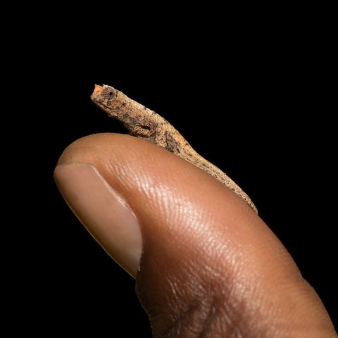 small animals, tiny chameleon brookesia micra brookesia minima