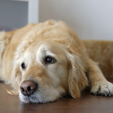 Tired Golden Retriever lying on wooden floor