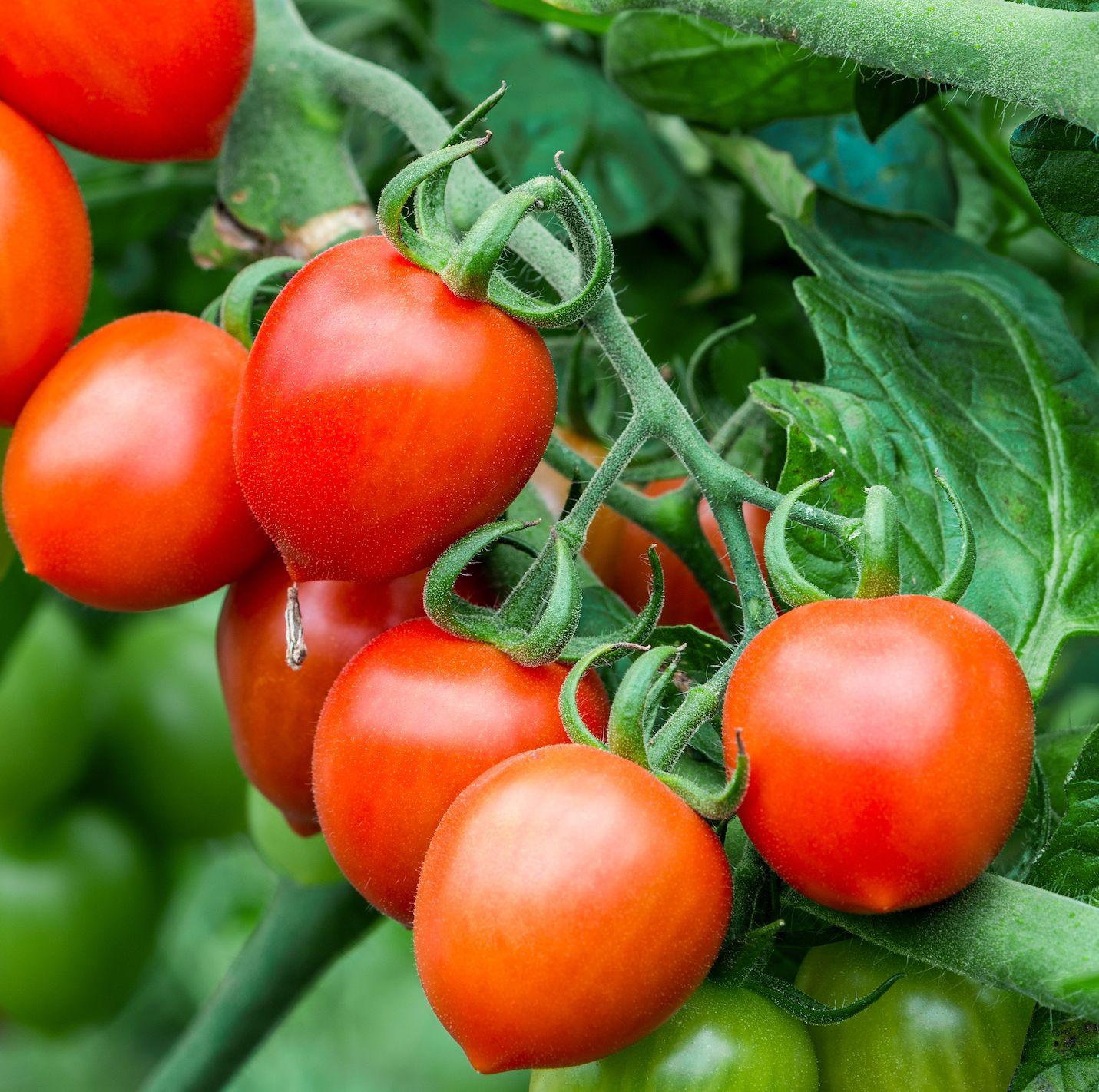 tomatoes in vegetable garden