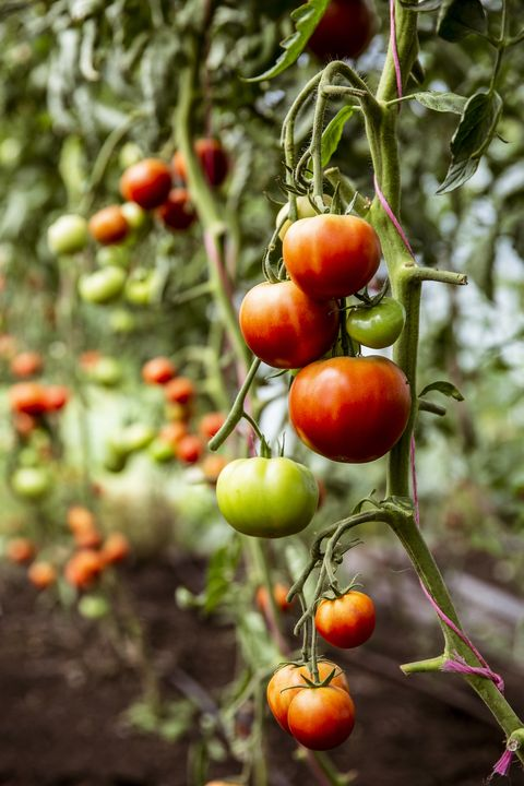 close up of green and red tomatoes on a vine