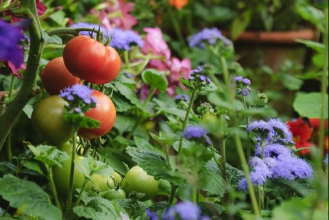 Tomatoes And Flowers In Garden