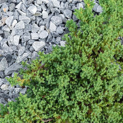 juniper   ground cover plants
