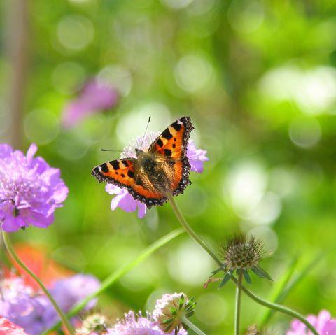 tortoiseshell butterfly on scabious flower