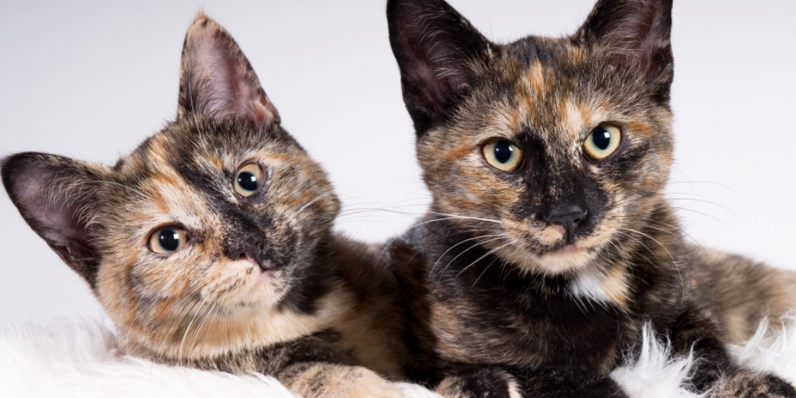 10 Fascinating Facts About Tortoiseshell Cats