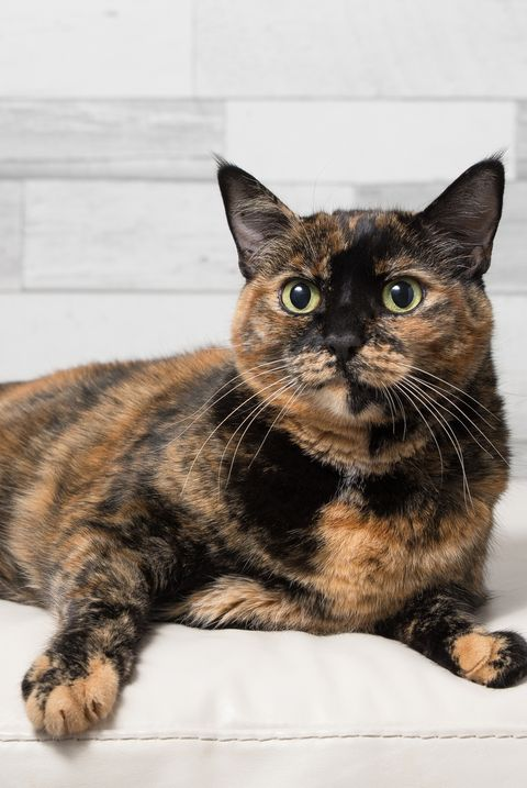 Tortoiseshell Cat Facts Breed