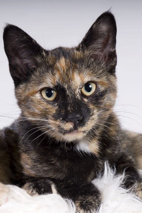 Tortoiseshell Cat Facts Types In Breeds