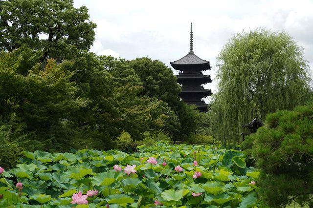 京都 東寺に咲く蓮の花と五重塔