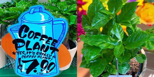 trader joe's coffee plant