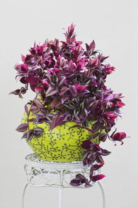 Tradescantia zebrina in glazed plant pot