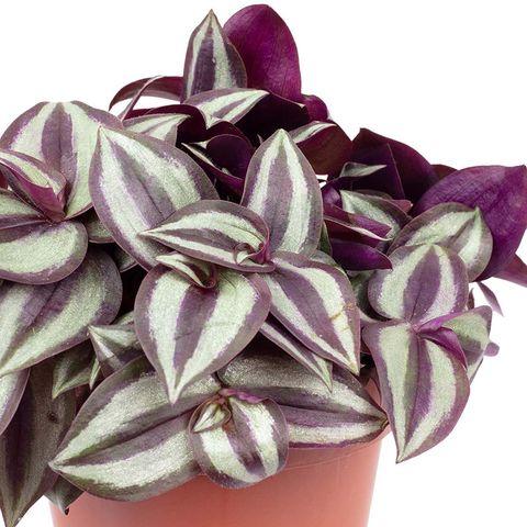 tradescantia zebrina, una planta de interior con hojas muy vistosas para decorar, en amazon