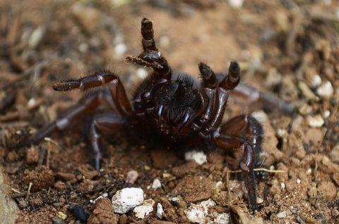 Spurred trapdoor spider ready to strike
