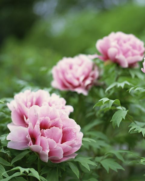peonies low maintenance flowers