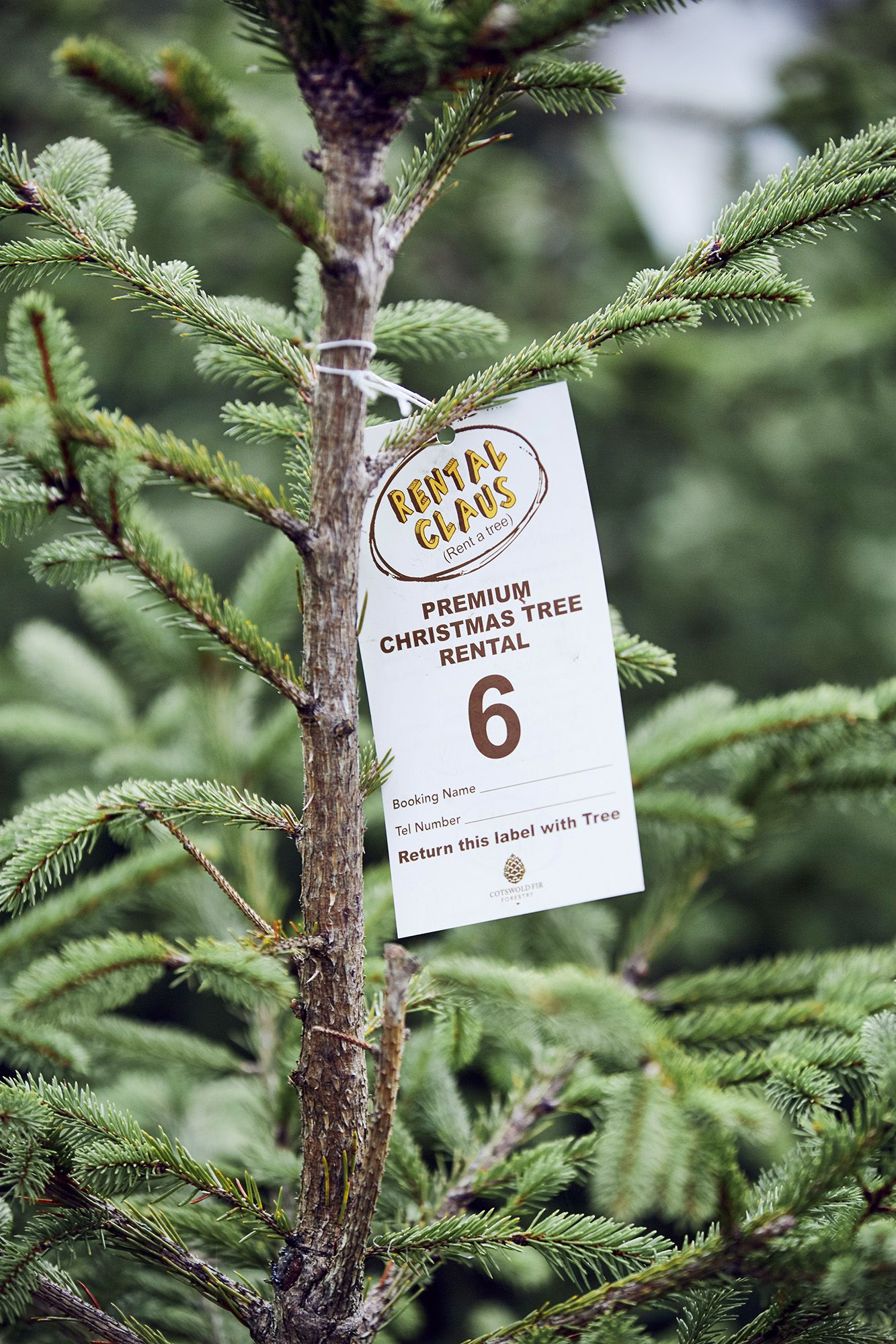 Rent a Christmas tree: Cotswold Fir's 'Rental Claus' is sustainable and reliable