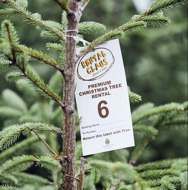 rent a christmas tree – cotswold fir christmas trees