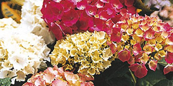 Hortensias c mo cuidar y mantener estas plantas - Cuidar hortensias exterior ...