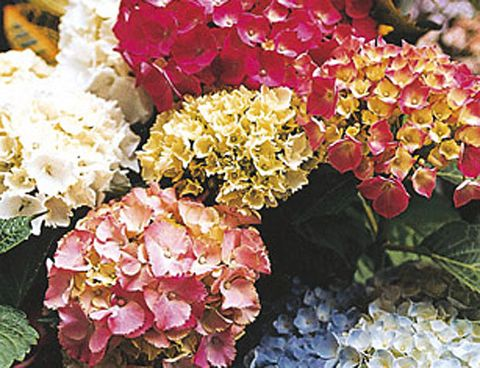 Hortensias c mo cuidar y mantener estas plantas - Como cuidar las hortensias en maceta ...
