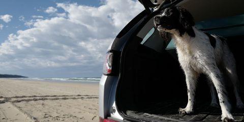 truffle, english springer spaniel puppy on seven mile beach, lennox head, new south wales, australia