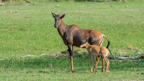 a tsessebe damaliscus lunatus mother and a baby