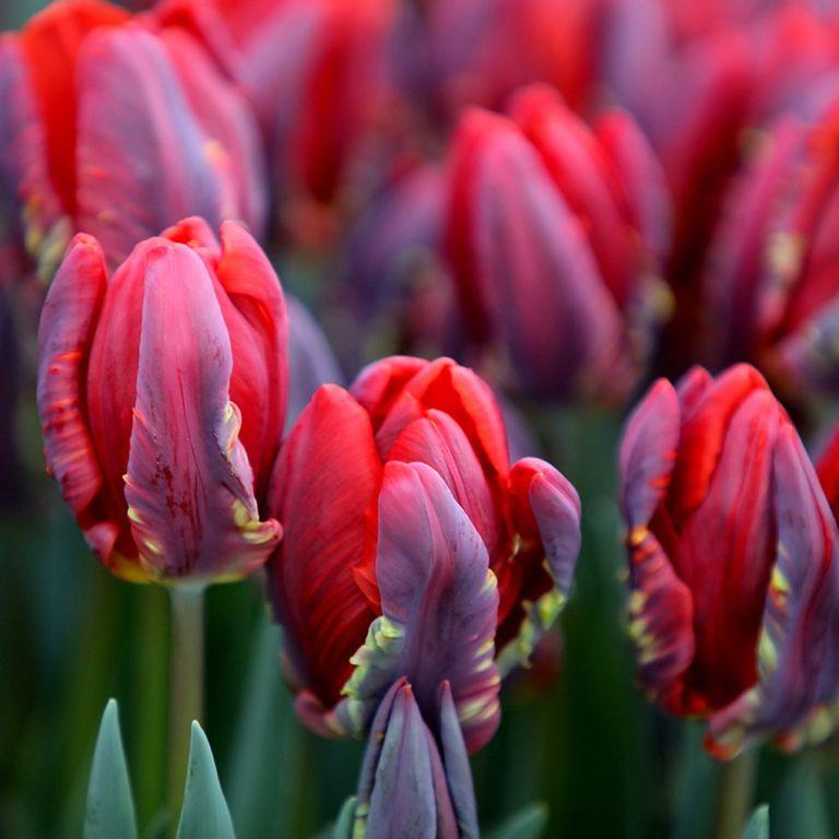 Bulbos de tulipán 'Rococo'parrot'Rococo'parrot tulip bulbs