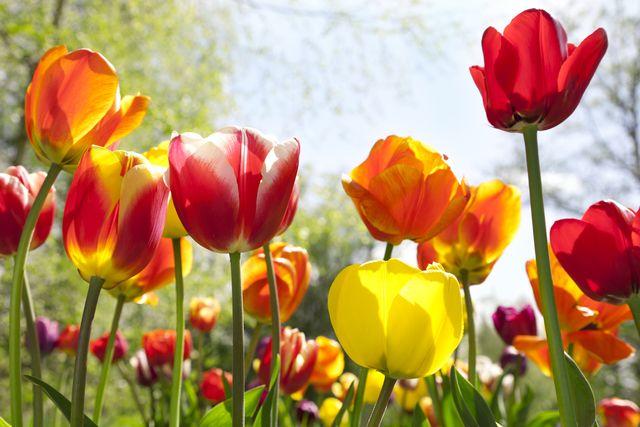 country living flower bulbs at homebase