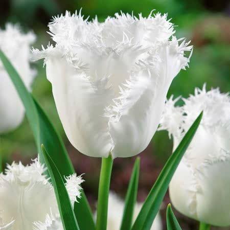 Tulip Bulbs - Honeymoon