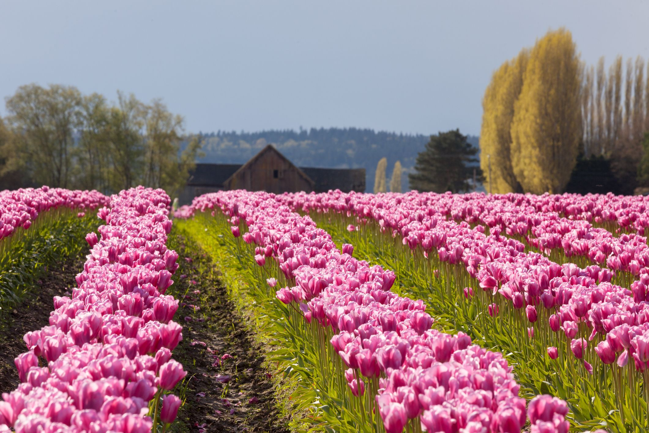 Here Are all of The Tulip Festivals Happening in The U.S. This Spring