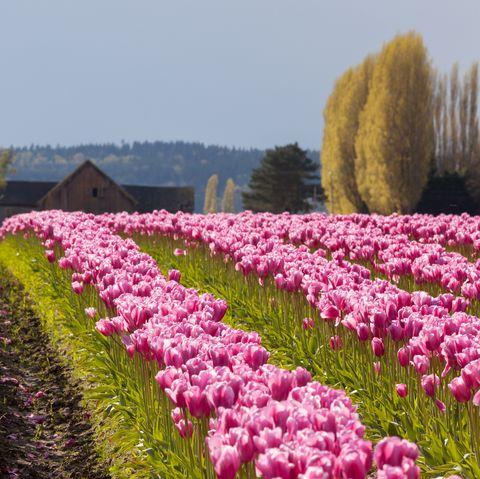Tulip field and Barn