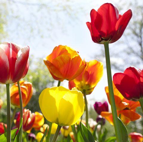 Vườn hoa tulip (Tulipa gesneriana)