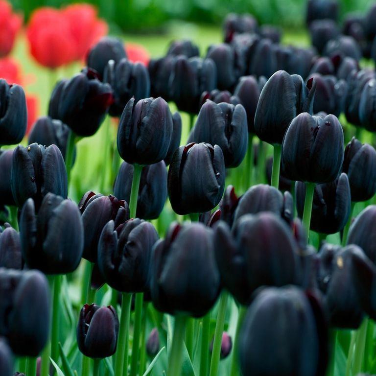 Tulipa 'Cafe Noir''Cafe Noir'