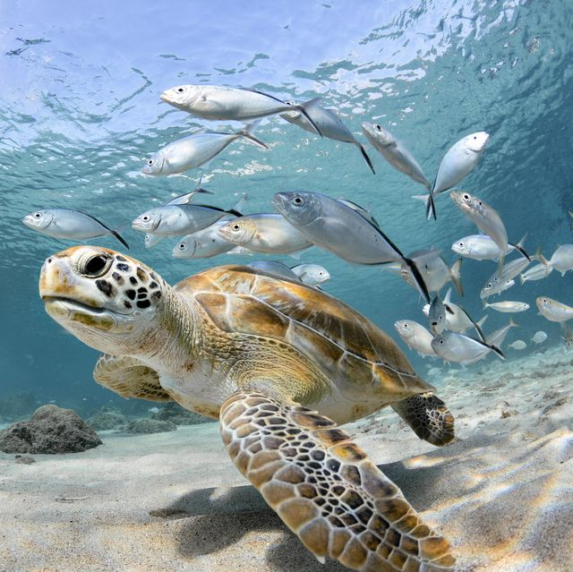 turtle closeup with school of fish