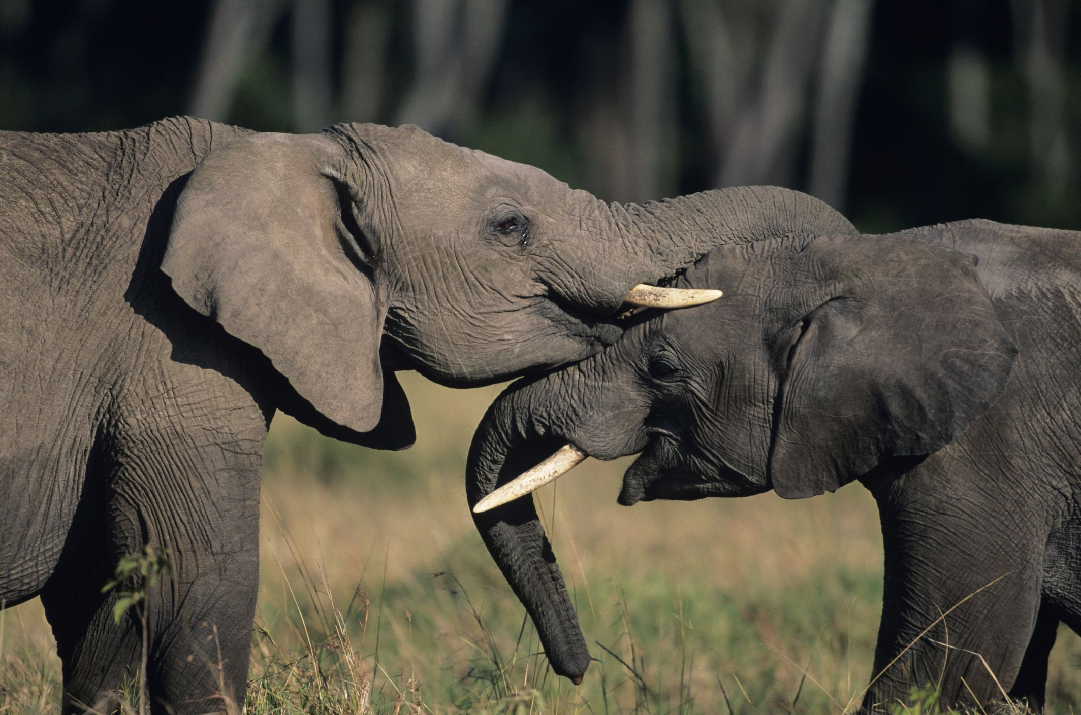 They hug their trunks to say hello to each other.