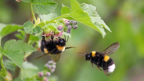 twee hommels hangen in een bloem