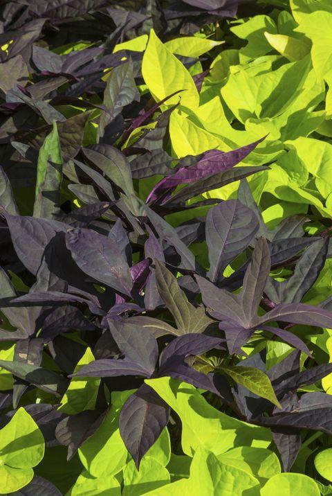 balcony plants sweet potato vine