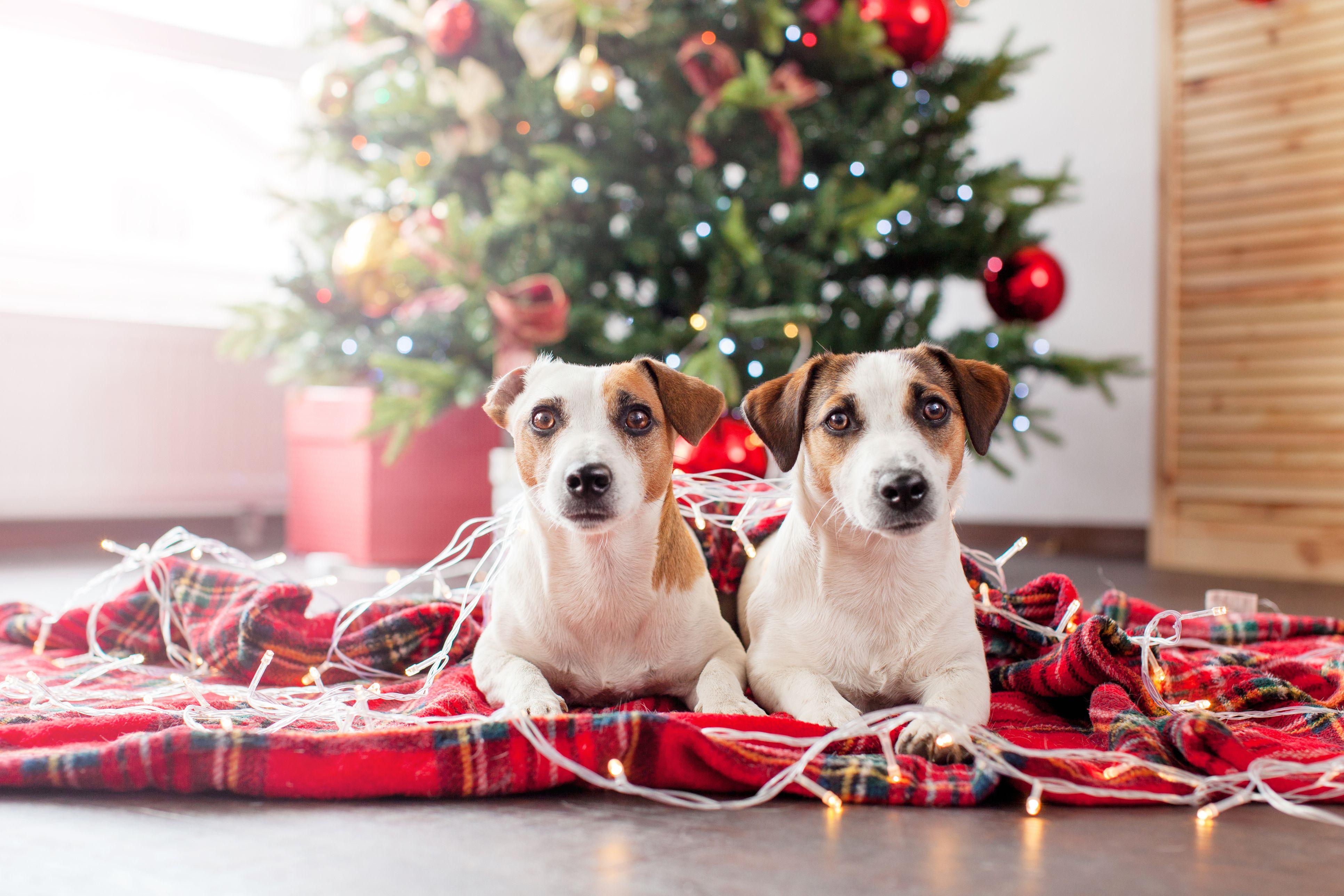 10 Naughty Things Dogs Do Over Christmas Dog Accidents Christmas